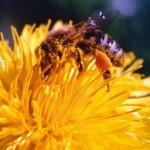 Honig – ein köstliches Naturprodukt entsteht.