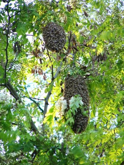 Doppelte Schwarmtraube im Baum